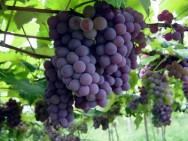 Aprenda Fácil Editora: Embrapa Uva e Vinho desenvolve recomendações técnicas para produção orgânica de uva